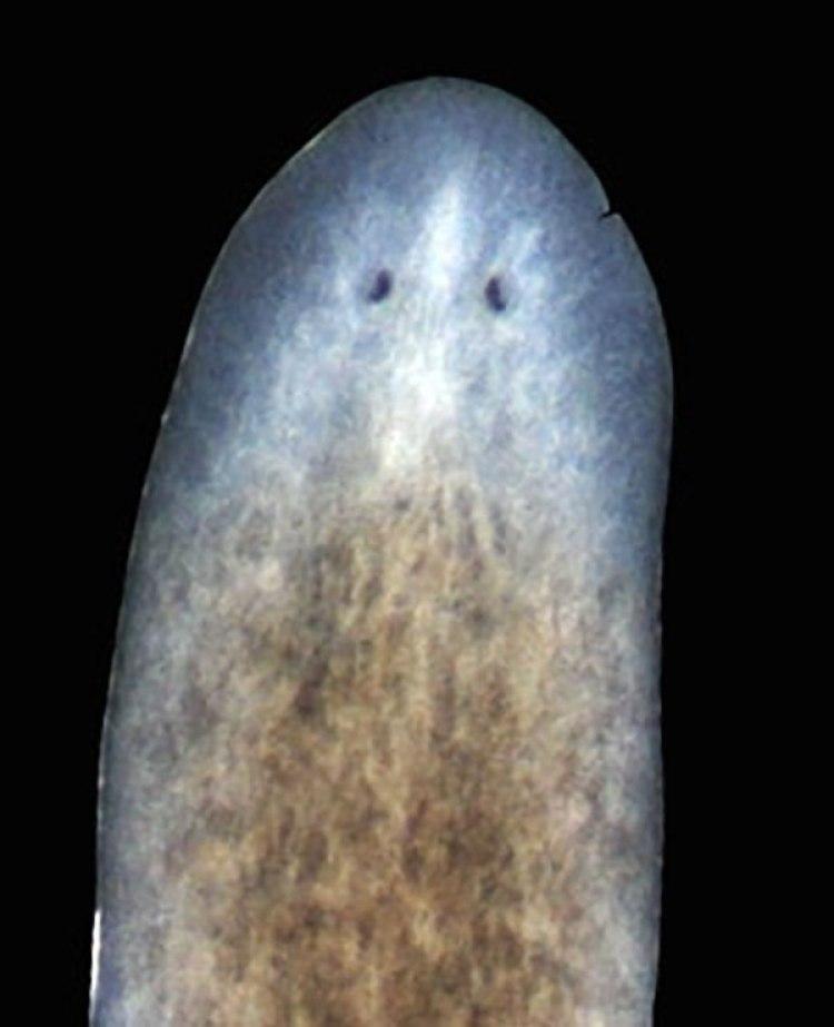 La Planaria se regenera: se ve en blanco la cabeza y la cola que son las partes que están regenerando. Es un animal al que le cortaron la cabeza y la cola. (Instituto Whitehead para Investigación Biomédica)