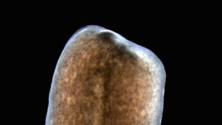 Un gusano planaria sin fibras longitudinales-no regenera: Así se ve un animal tratado con tecnología de ARN de transferencia que perdió sus fibras musculares longitudinales. Al quedarse sin cabeza, no puede regenerar (Instituto Whitehead para Investigación Biomédica)