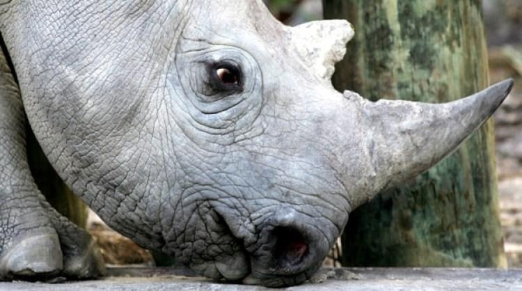 Los rinocerontes negros están en grave peligro de extinción por los cazadores que buscan los cuernos, a alto valor en el mercado negro (Reuters)