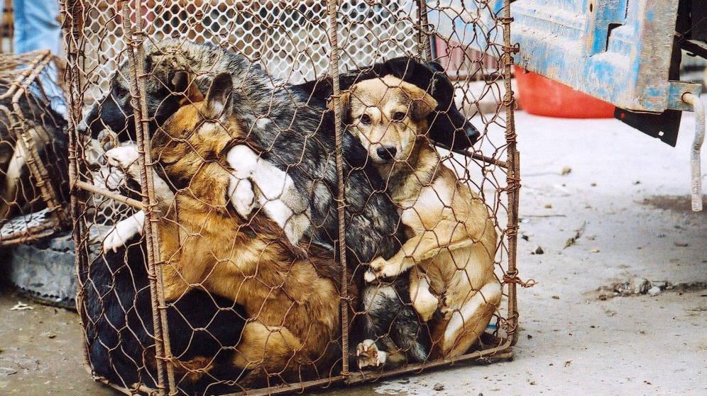 Foto: Más de 1000 establecimientos venden carne de perro en Hanoi (EFE/Animals Asia)
