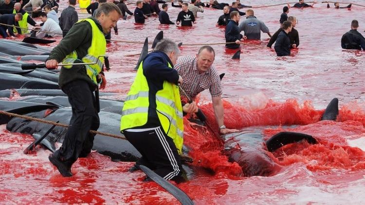 En las Islas Faroe y algunos países escandinavos las caza de ballenas es común.