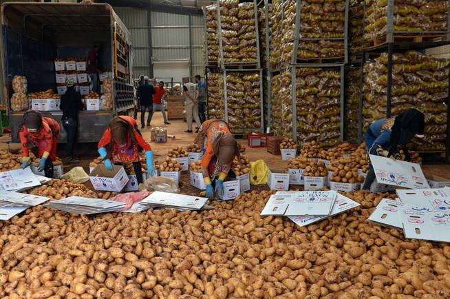 La patata, uno de los alimentos más consumidos del mundo (EFE/Wael Hamzeh)