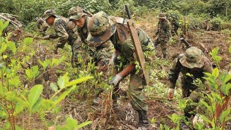 Tareas de erradicación de coca en los Yungas paceños.