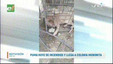 Puma huye de los incendios y se refugia en una colonia menonita