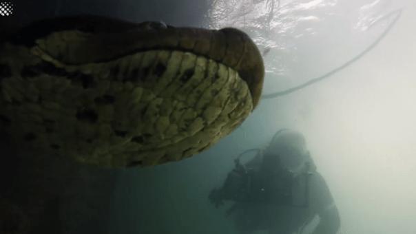 Video. Buzos se topan con anaconda de 7 metros en río de Brasil