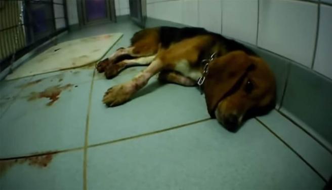 Un perro moribundo rodeado de sangre en el laboratorio de los horrores.