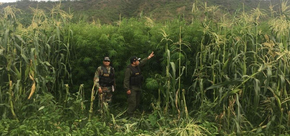 Umopar erradica más de dos toneladas de marihuana en Ivirgarzama