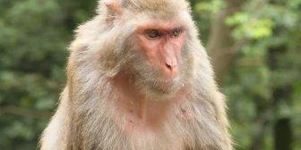 Coronavirus: infectaron a monos con la enfermedad en búsqueda de una vacuna