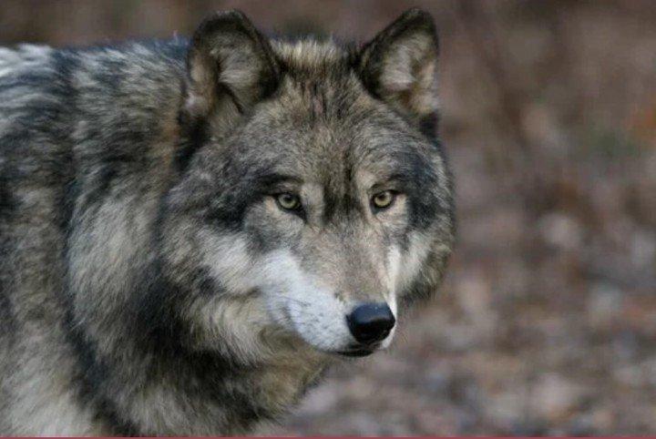 Coronavirus: una especie de lobo que se creía extinta apareció en Francia
