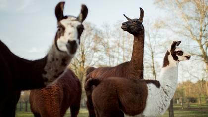 Llamas y alpacas podrían tener los anticuerpos contra COVID-19