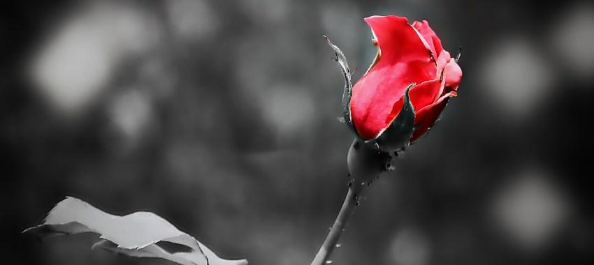 Free fotók: Rózsaszál