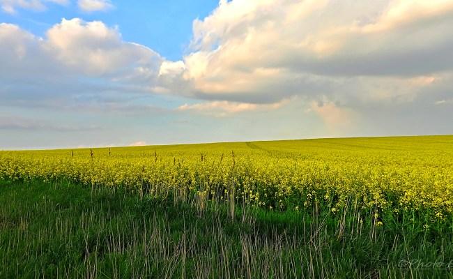 Free fotók: Tavaszi repcemező