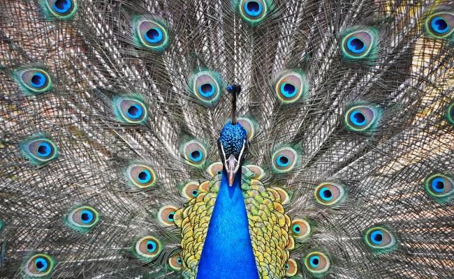 Free fotók: A kék páva vagy indiai páva (Pavo cristatus) 4 K