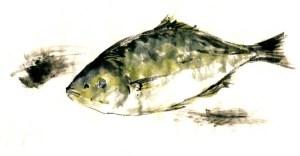 イサキ (テレビ朝日「おかずのクッキング」テキスト 「生田與克の旬の魚が一番うまい!」コーナーイラスト)