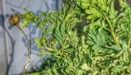 فوائد عشبة الفيجن