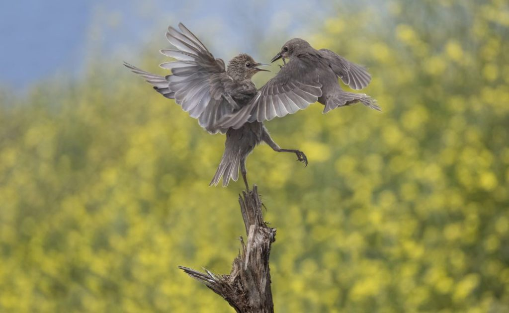 starlings-captured-on-film-fighting-in-mid-air