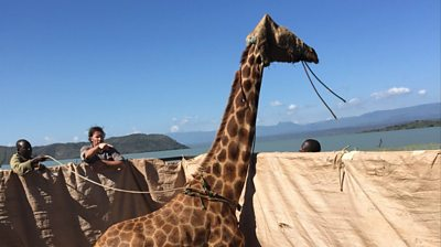 A giraffe stands on a raft