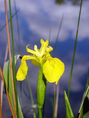 iris-faux-acore(01)