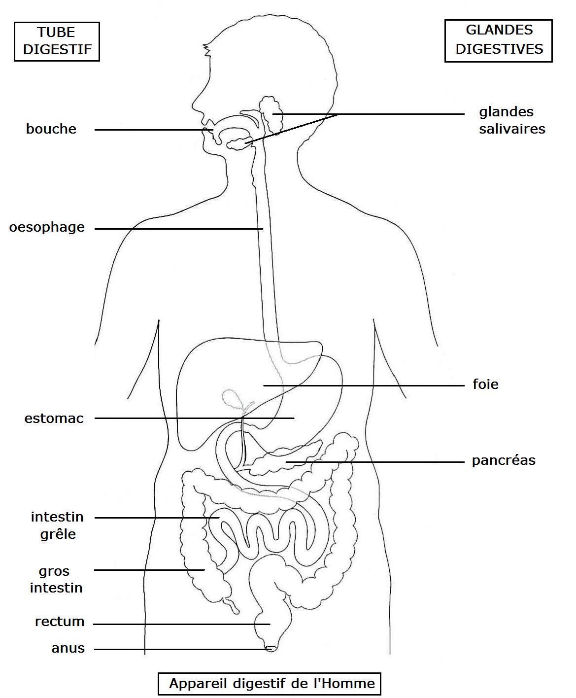 L Alimentation Et La Digestion