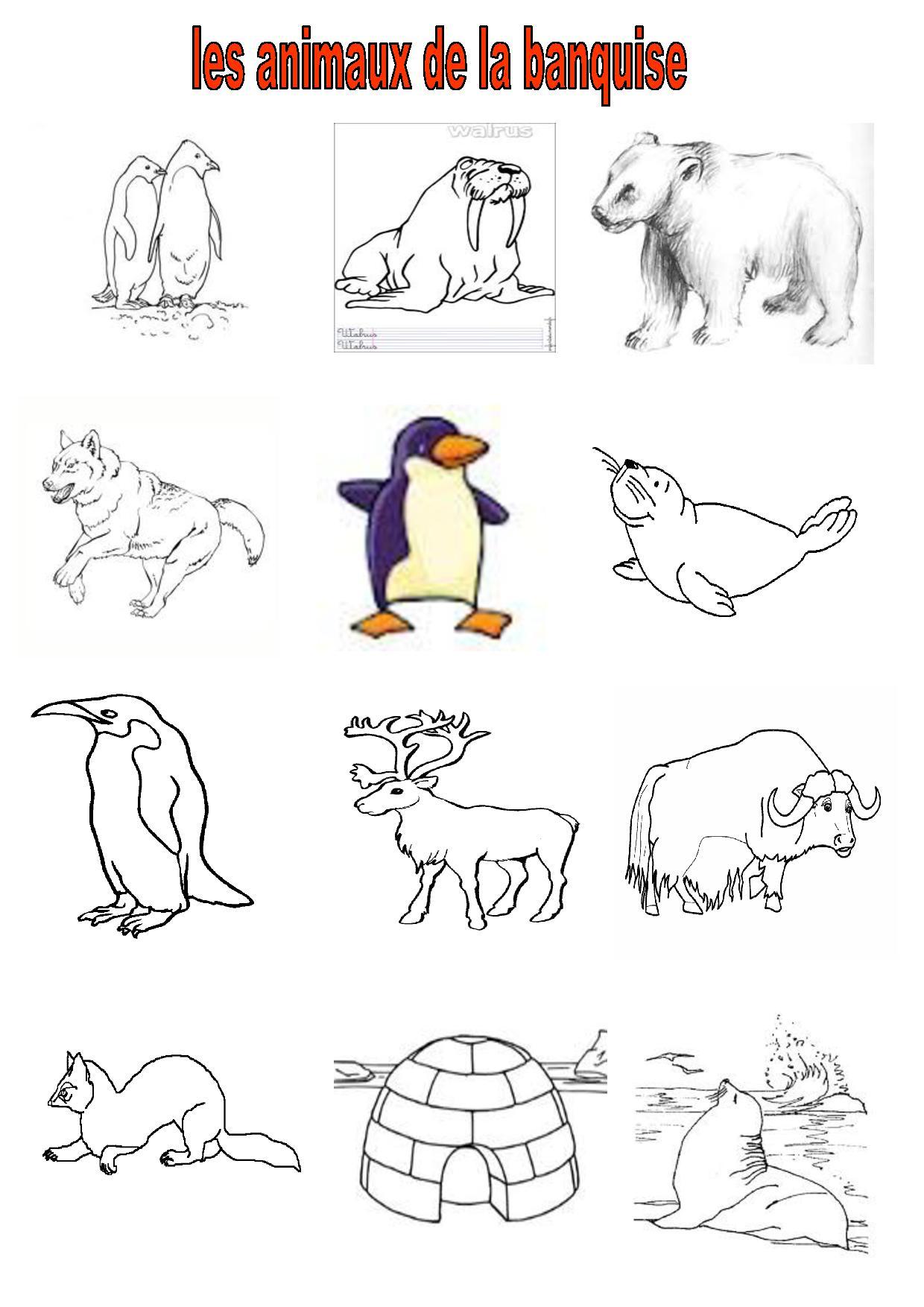 Les Animaux De La Banquise : animaux, banquise, Vocabulaire, 2,CE,CM2,, Imagiers,, Animaux, Banquise