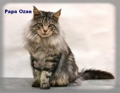 Mon Maine Coon - Ozan