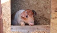 Garder les cochons