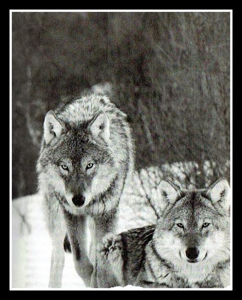 Chasser le loup, ou pas …