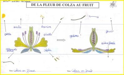 http://www.vivelessvt.com/wp-content/uploads/2008/12/de-la-fleur-de-colza-au-fruit.jpg