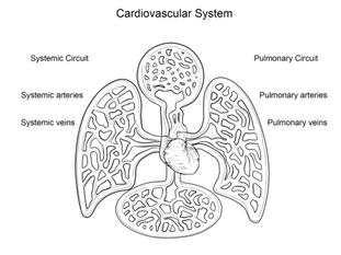 Système cardiovasculaire Coloriage
