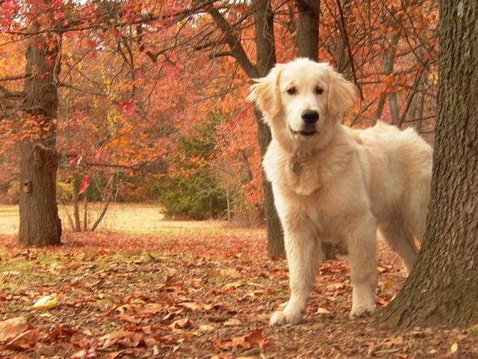 Puppies In Fall Wallpaper Le Golden Retriever Mamykool