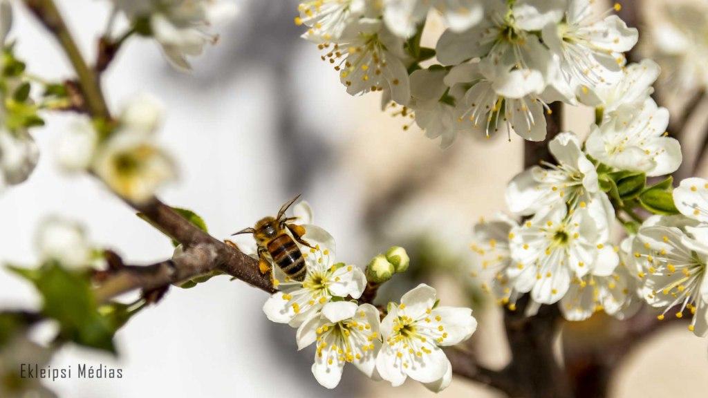 abeille sur prunier