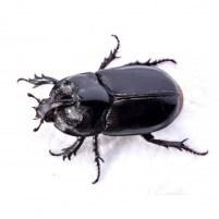 Balegar (Coleoptera)