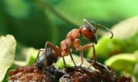 Riđi šumski mrav (Formica rufa)