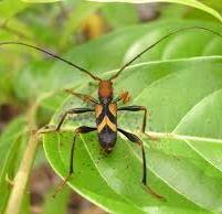 Strižibuba (Cerambycidae)
