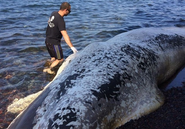 Σαντορίνη: Η θάλασσα ξέβρασε αυτό το μυστηριώδες πλάσμα – Η απάντηση από τον έμπειρο δύτη [pics, vid]