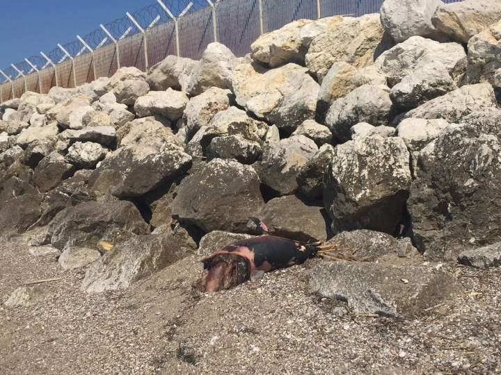 Τωρα: Νέο δελφίνι ξεβράστηκε στην παραλία Ιερατικης