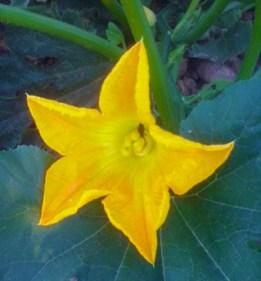 Flores de calabacín y calabaza