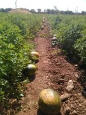 melones-recien-cortados-esperando-a-ser-recogidos-ekotania