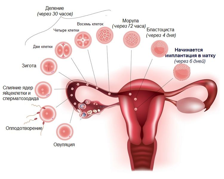 How long does the implantation of the embryo  The first