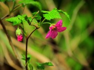 Salmonberry - Photography