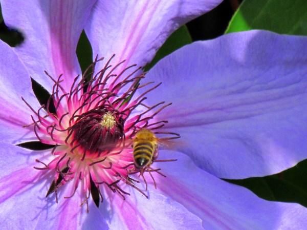 Clematis And Honey Bee Ek & Art