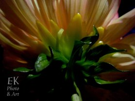 Dahlia II - Floral Photography