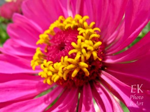 Hot Pink and Yellow Flower - Macro Photography