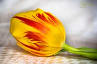 IMG_7594-yellow-red-tulip-2