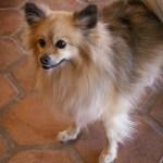 Allergivänliga hundar | fakta och myter
