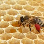 Kan honung lindra pollenallergi och astma?