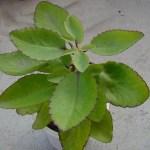 tanaman cocor bebek