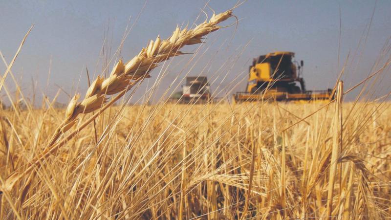 Se triplicó el área de siembra de trigo