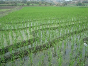 campo-de-arroz