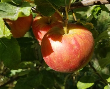 Karmijn de Sonnaville is a complexly sweet and tart apple with a dense flesh.